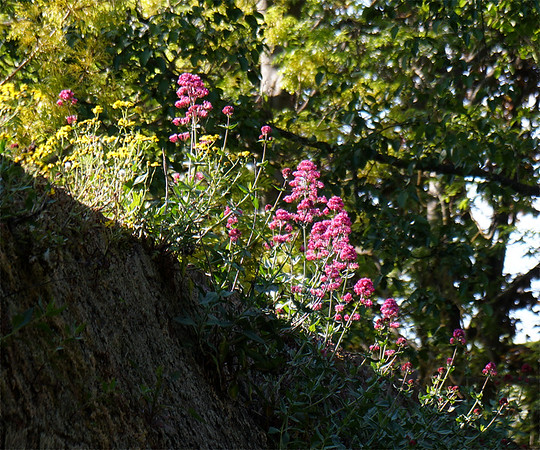 Flowers Growing on an Old Wall - Church Lane