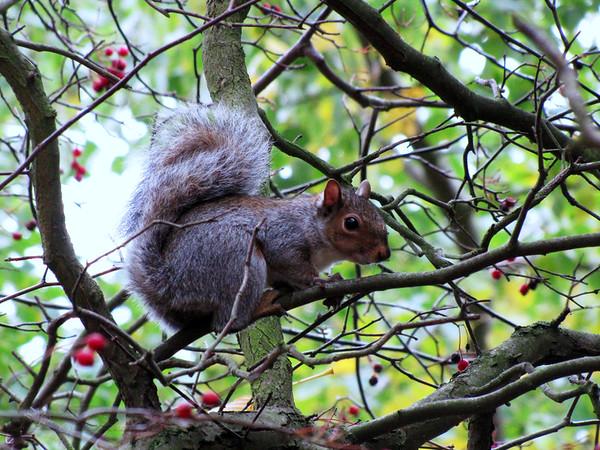 Cannizaro Park - Grey Squirrel