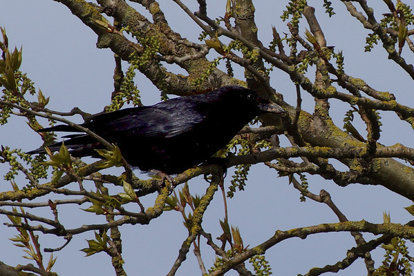 Crow on Cannon Hill Common