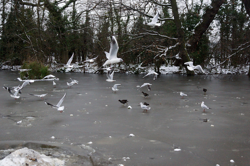Black Headed Gulls  over Frozen Lake on Cannon Hill Common