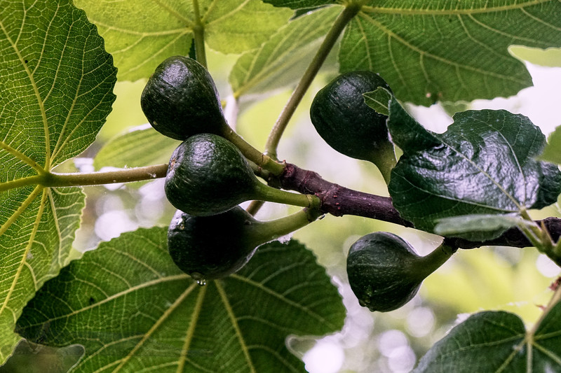 Figs in South West London