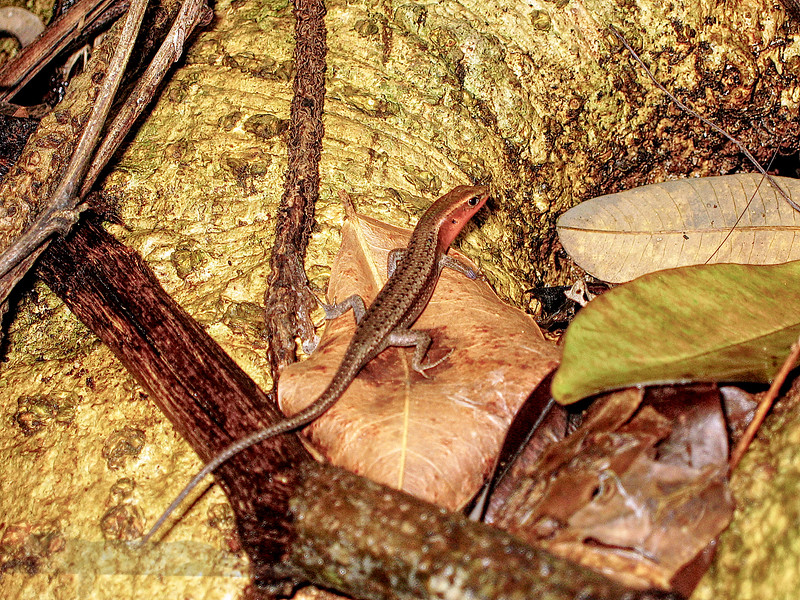 Small Lizard in Australia