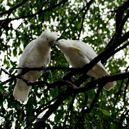 Two Cockatoos in The Blue Mountains