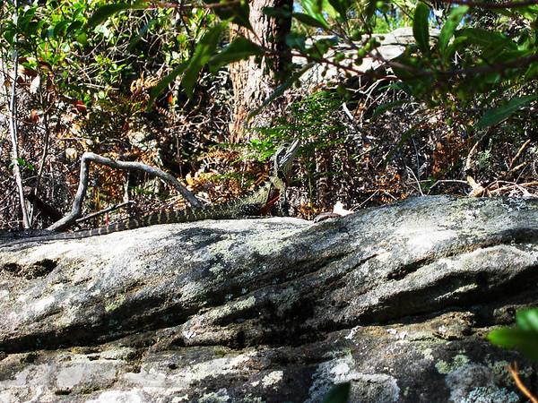 Green Lizard - Sydney Harbour Walk