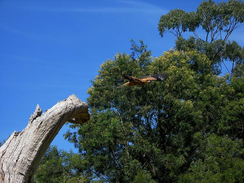 Raptor in Flight - Victoria Australia
