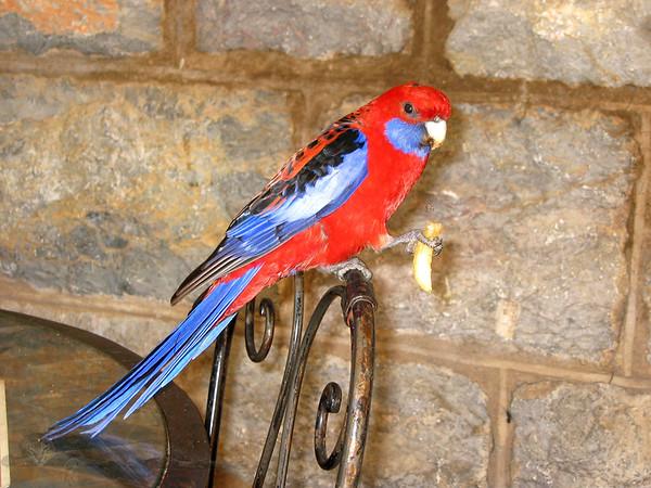 Rozella Papağanı
