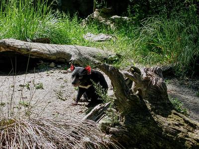 Tasmanian Devil - Carnivorous Marsupial