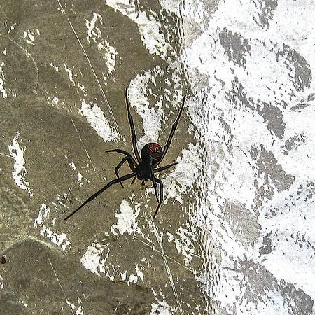 Red Back Spider  AKA Australian Black Widow