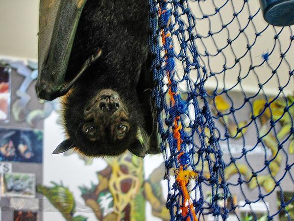 Queensland - Fruit Bat Rescue