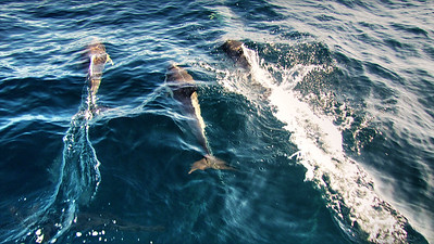 Bottlenose Dolphins Swimming - NSW