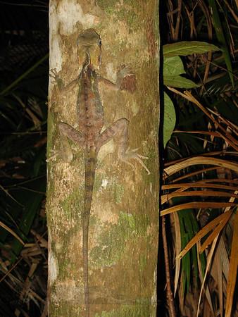 Boyd's Forest Dragon - Daintree