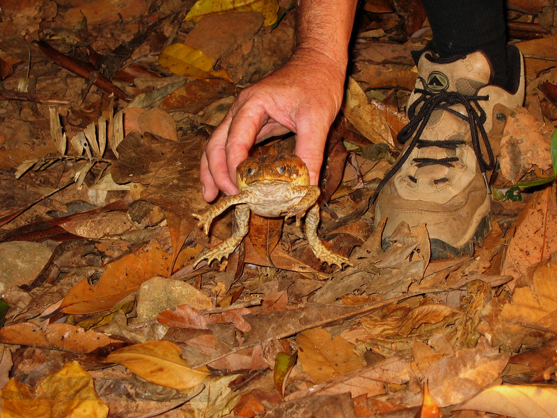 Daintree - Cane Toad