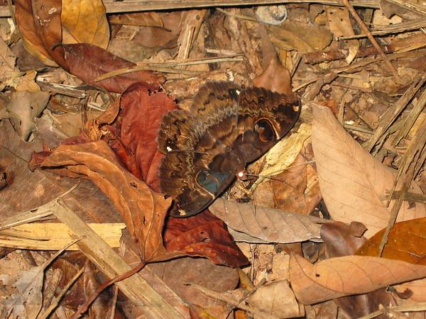 Daintree - Butterfly