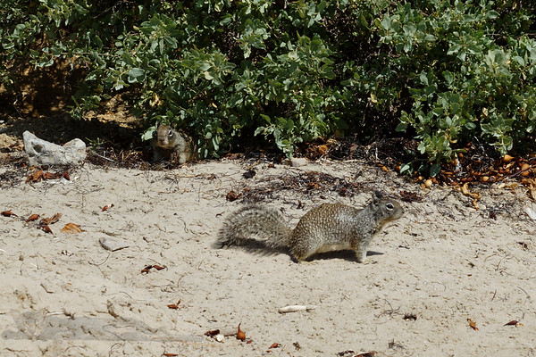 Squirrel - Crystal Cove State Park, California