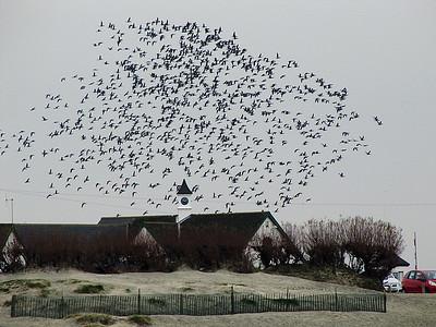 Birds Flocking at West Wittering