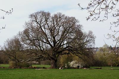 Cannon Hill Common - Tree - The Big Oak Tree on Cannon Hill Common - 2020