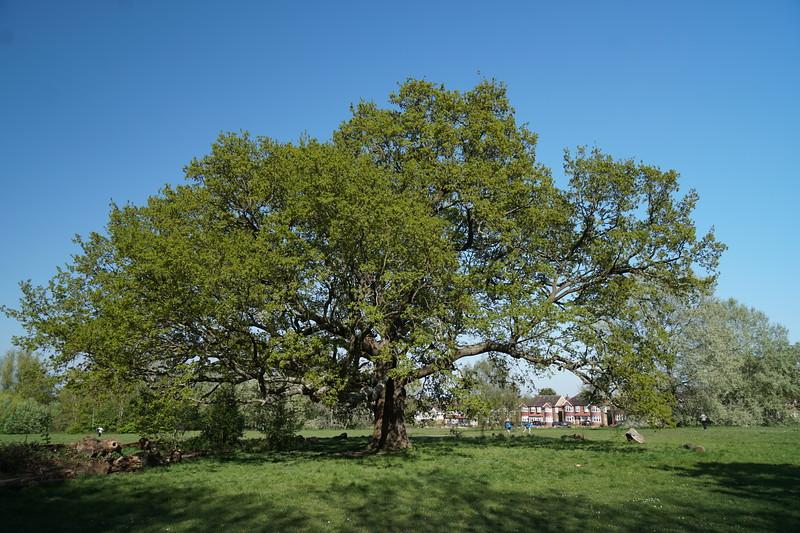 The Big Oak Tree on Cannon Hill Common