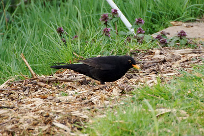 Blackbird - Merton Allotments