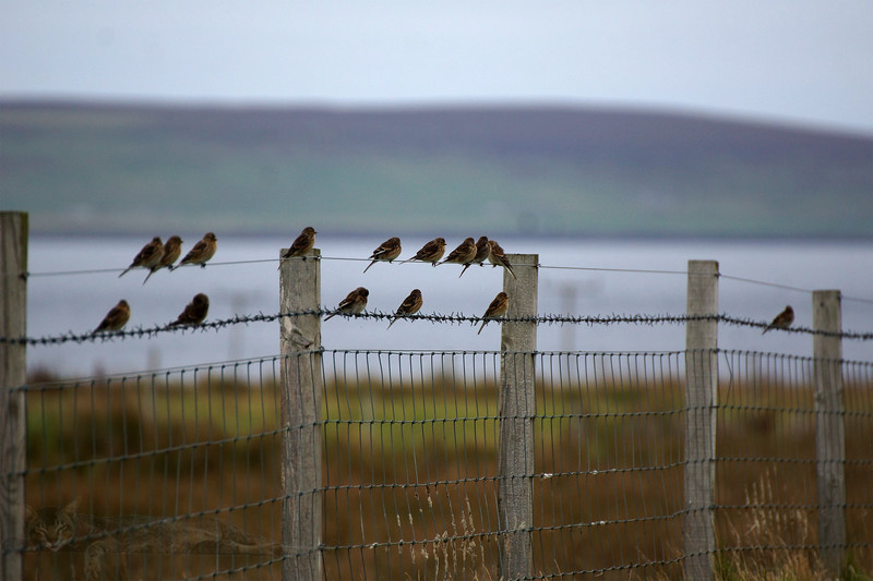 Egilsay - Birds on the Wires