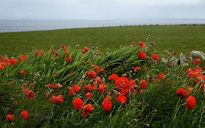 Poppies on South Ronaldsay, Orkney