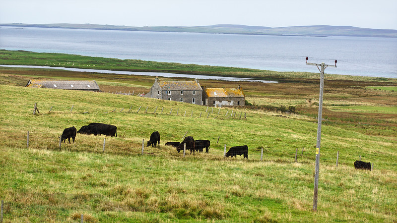 Cattle and Houses on Egilsay