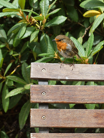 Robin on the Chair - Wales