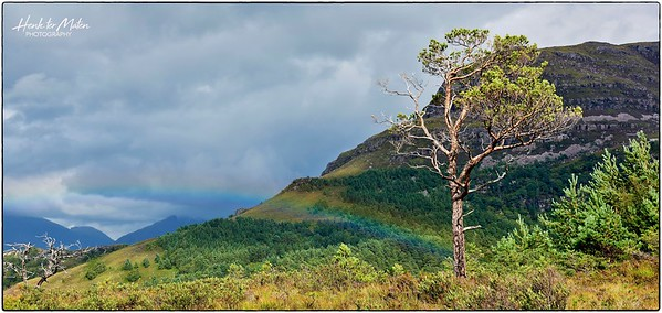 Lonely Scots Pines at Loch Shieldaig