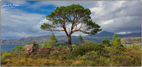 Lonely Scots Pines overlooking Loch Shieldaig