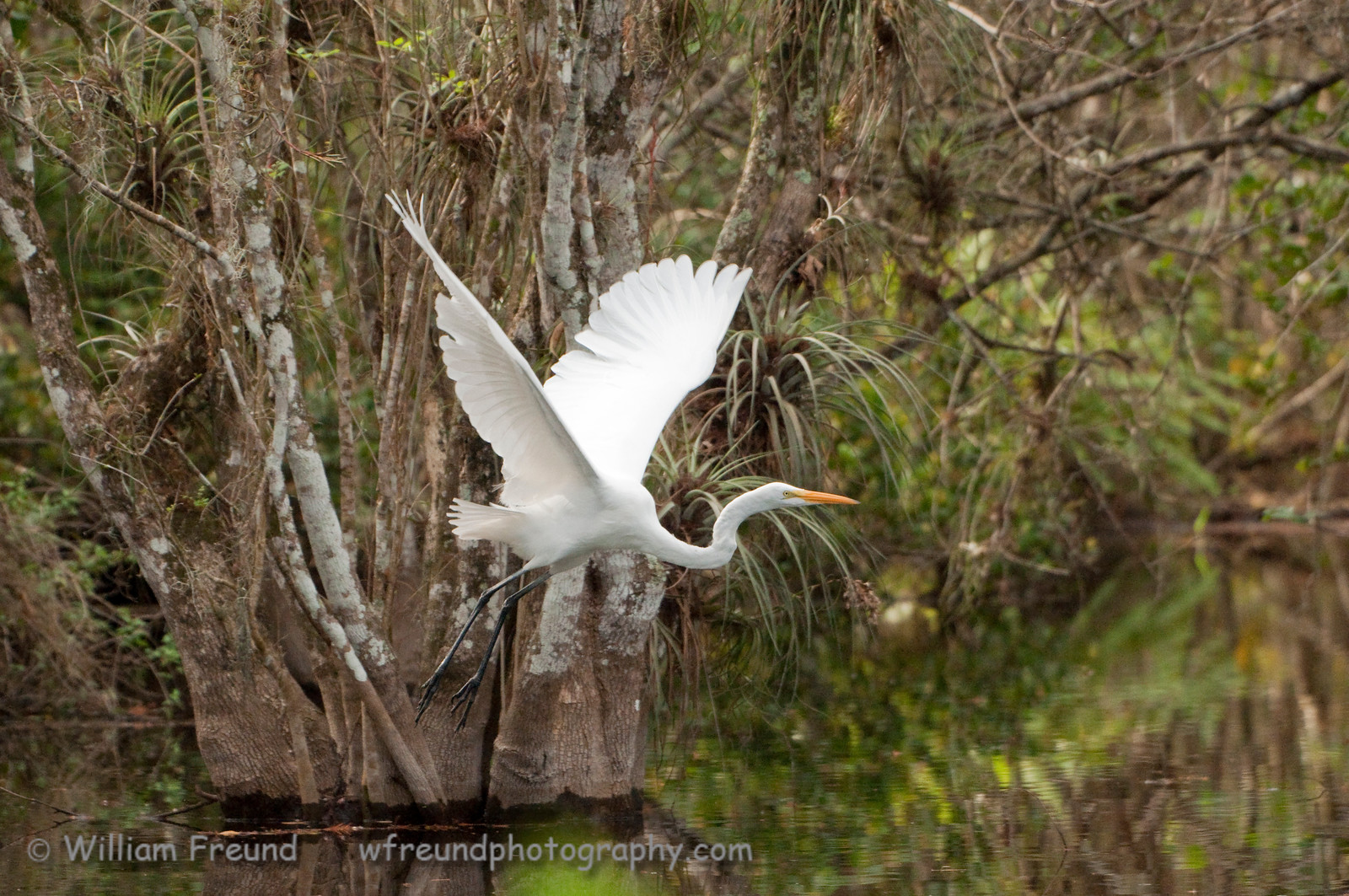 We went to visit Clyde Butcher's gallery in the Big Cypress National Preserve and I caught this Great Egret flying over the pond right next to the gallery.  A great place to visit if you get the chance!