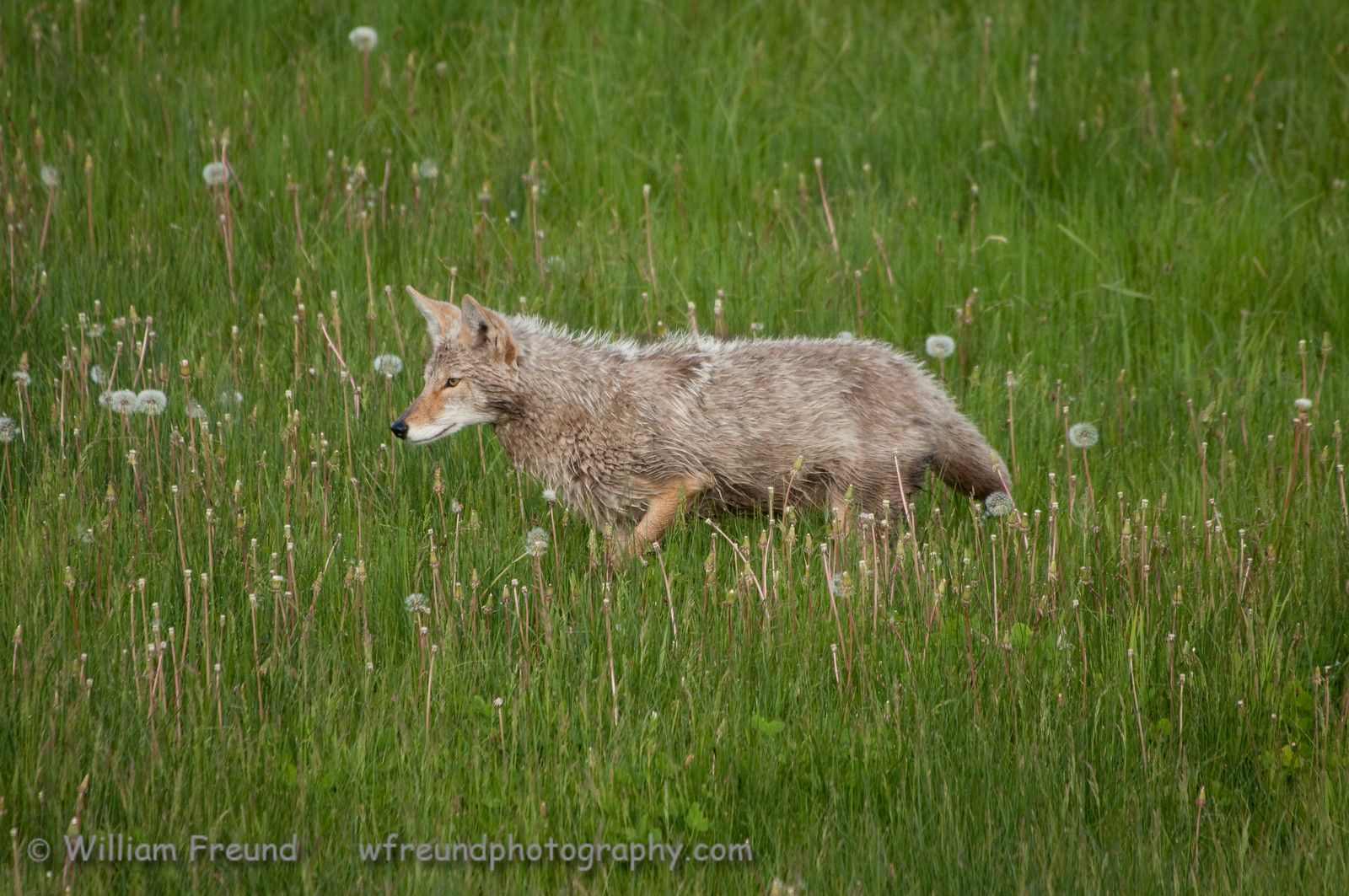 Coyote on the hunt.  Yellowstone National Park.