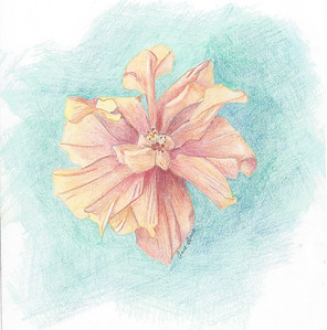 Hibiscus Flower in coloured pencil. An early work.