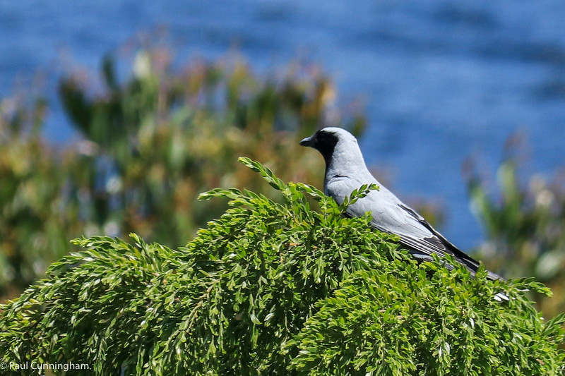 Black-faced Cuckoo-shrike, Glaziers Bay, Tasmania