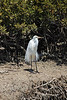Great Egret (in breeding plumage), Port Wakefield, SA