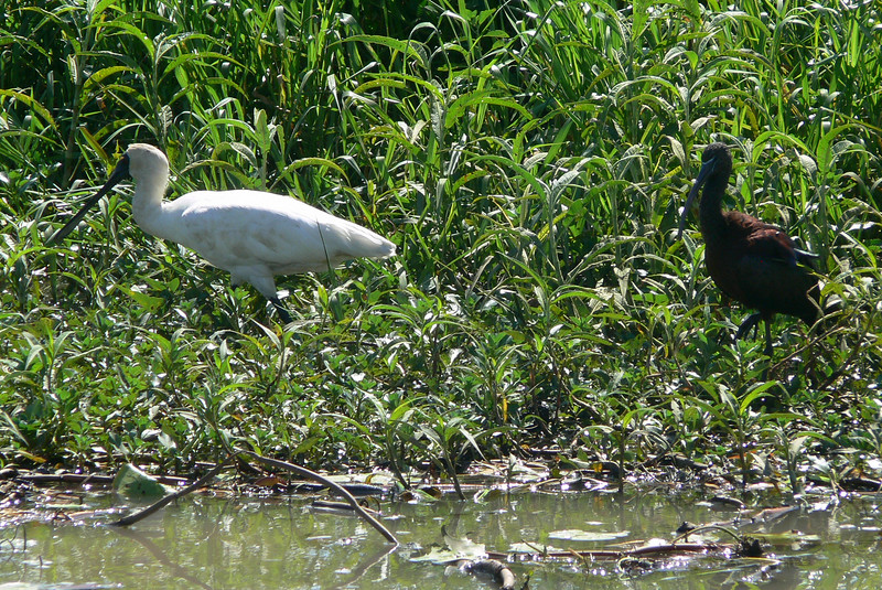 Royal Spoonbill with young (?), Kakadu, NT