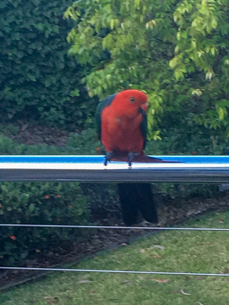 Australian King Parrot in our garden, 22 Jan 2019.  There was a pair, but the female avoided being photographed.