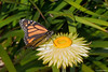 Monarch butterfly and friend