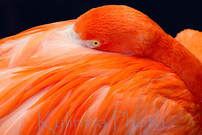 Flamingo at rest but not sleeping