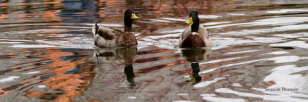 Mallards having a Meeting