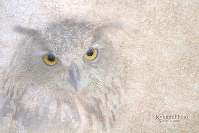 Eurasian Owl_8223