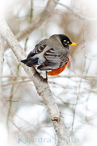 Red Winter Robin