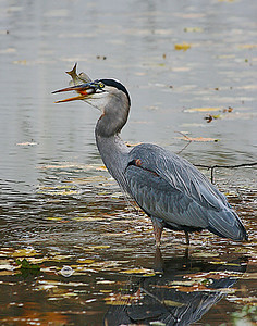 Gray Heron's 5th fish
