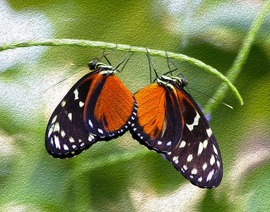 Spotted Tiger Longwing.