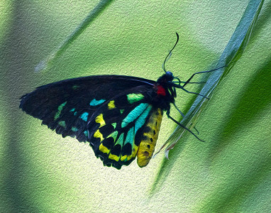 Yellow Birdwing