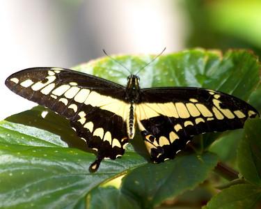 Piper Swallowtail
