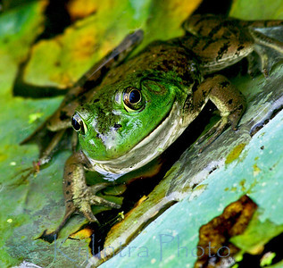 Green Frog 376