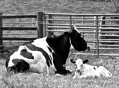 Domestic Coo and Calf 192