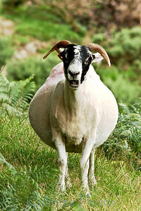 Black Faced Sheep 253
