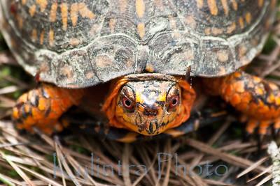 Orange Turtle 223