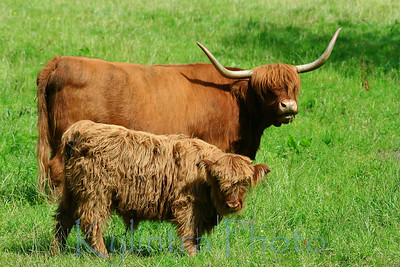 Highland Cow and Calf 244