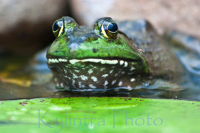 Big Green Frog 837